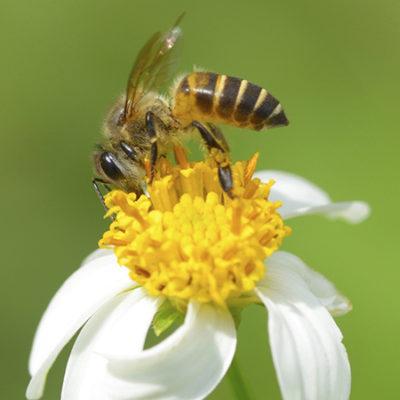 pollinator_bee2